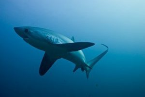 thresher-shark-philippines