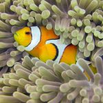 False Clown Anemone
