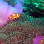 False Clown Anemones