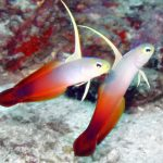 Fire Dart Goby