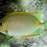 Gold Saddle Rabbitfish