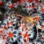 Spider Crab on Gorgonia