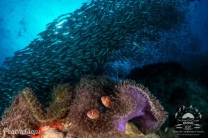 Koh Tao dive site, beautiful diversity marine life, fish, coral and the best diving